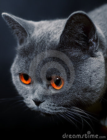 Free Snout  Of Cat With Dark Yellow Eyes Royalty Free Stock Photography - 15879127