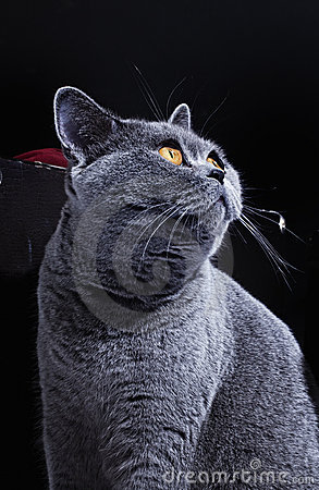 Free Snout Of Cat With Yellow Eyes Royalty Free Stock Photos - 17687068