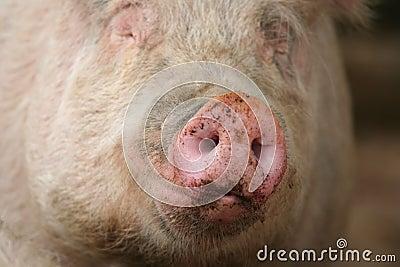 Snout of a Pig