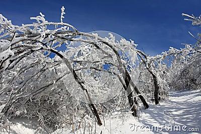 Snow bending tree