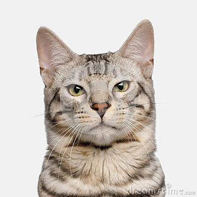 Free Snow Bengal Cat On White Background Royalty Free Stock Photo - 103976705