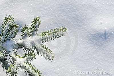Snow blanketed pine branch