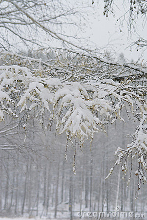 Snow on a branch of a larch