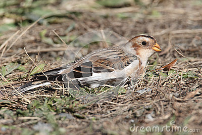 Snow Bunting In A Field