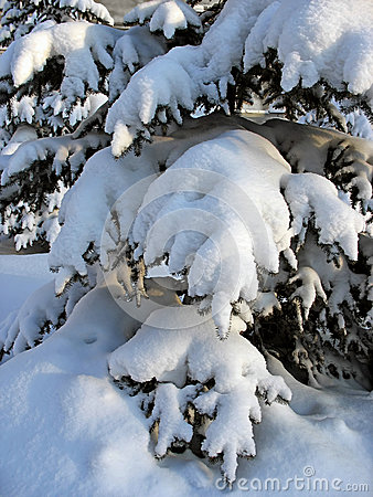 Snow-capped fir twigs