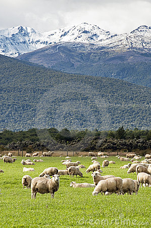 Snow capped mountain and sheep in New zealand