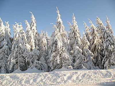 Ice Forest Snow-covered-evergreen-trees-12762413