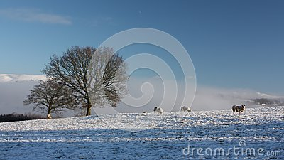 Snow Covered Field with Sheep