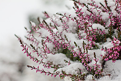 Snow Covered Flowers Royalty Free Stock Photo Image