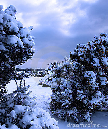 Snow covered gorse bushes
