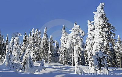 Snow covered mountain forest