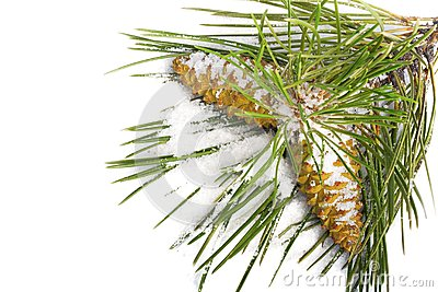 Snow-covered pine branch with cones