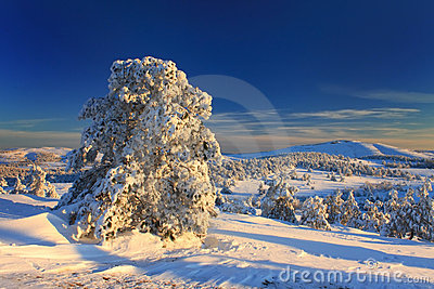 Snow-covered pine in the forest