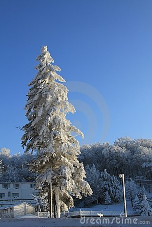Snow Covered Pine Tree on Winter Day