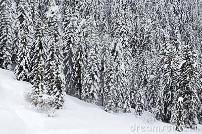 Snow covered pine trees forest