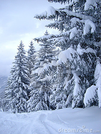 Free Snow Covered Pines Stock Image - 349831