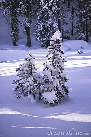 Free Snow Covered Pines Royalty Free Stock Image - 799786