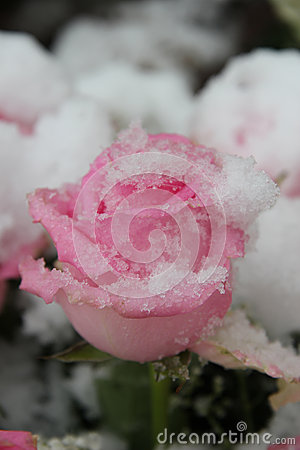 Free Snow Covered Pink Rose Stock Photography - 35247742