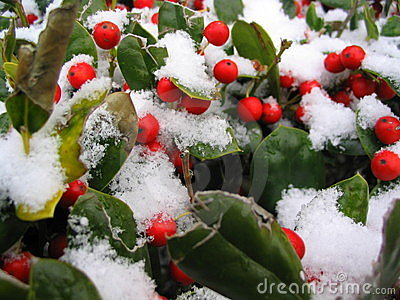 Snow Covered Red Berries Stock Photo