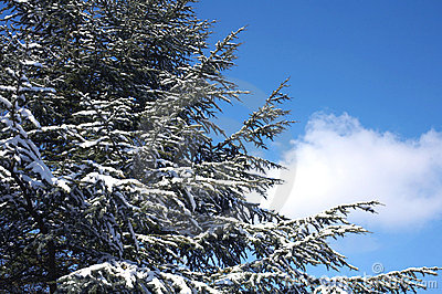 Snow-covered tree and blue sky
