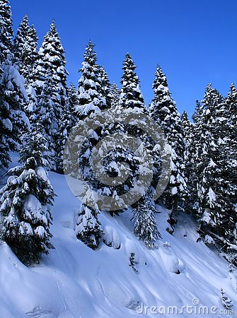 Snow Covered Trees 10
