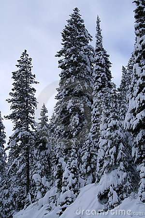 Snow Covered Trees  12