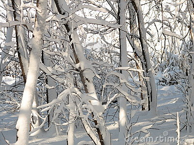 Snow-covered Trees - 2