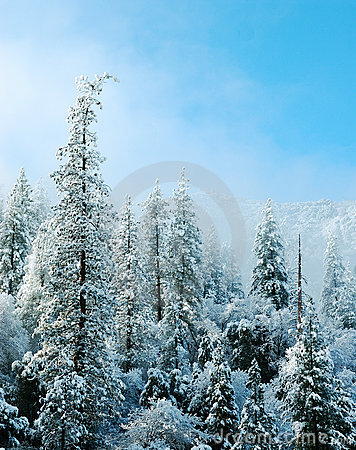 Free Snow Covered Trees Royalty Free Stock Photos - 2121158