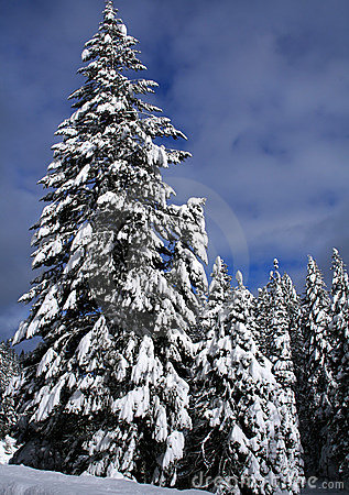 Snow Covered Trees 5