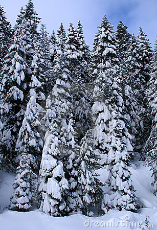 Snow Covered Trees 8