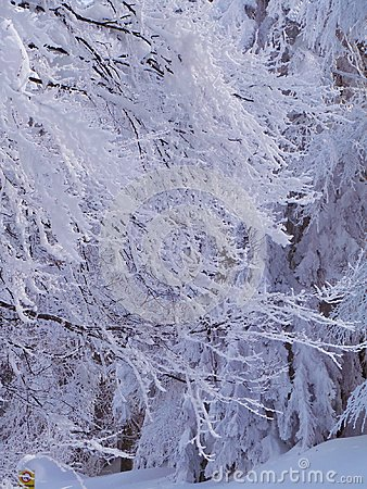 Free Snow Covered Trees And Branches Stock Photo - 118886030