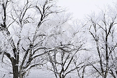 Snow covered trees with approaching storm