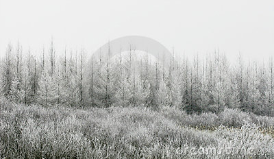 Snow covered Trees and Grasses