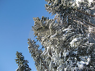 Snow covered trees in winter