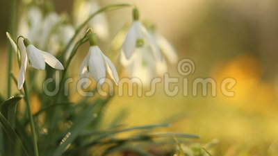 Snow drop flowers in warm morning sun light. Floral wallpaper video stock footage