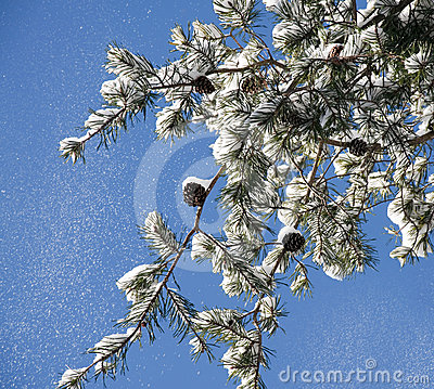 Snow falling from a pine branch
