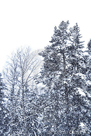Snow falling trees