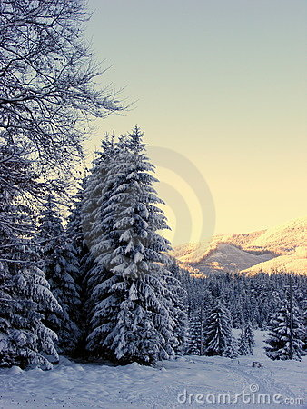 Snow fir in winter