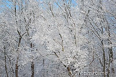 Snow Flocked Trees