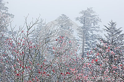 Snow Flocked Trees in Fog