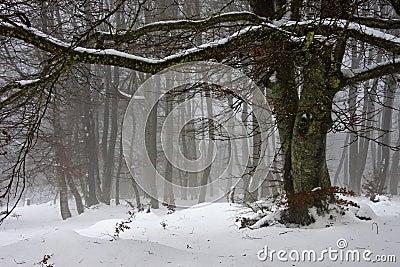 Snow and fog beech