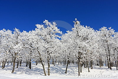Snow Forest on Clear Blue Sky