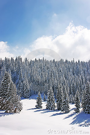Snow forests in the mountain