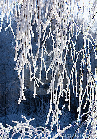 Snow-frost covered branch of birch