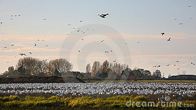 Snow geese in farm field