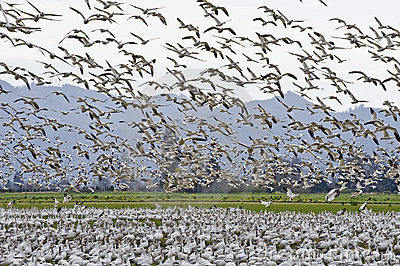 Snow Geese Flock Migrating
