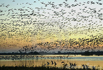 Snow Geese on the Wing