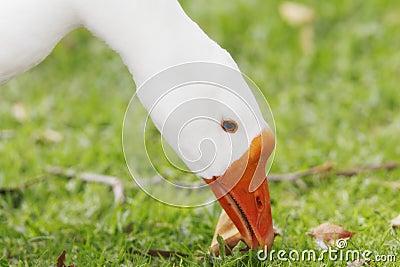 Snow Goose Closeup