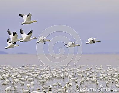 Snow goose migration