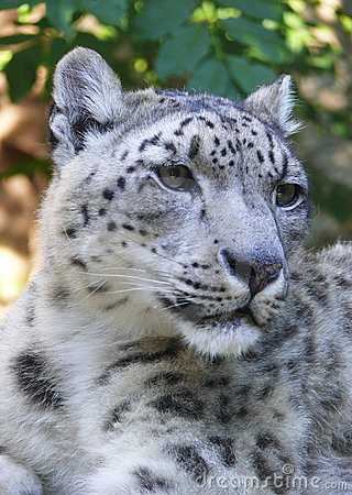 Free Snow Leopard Stock Photography - 15073962